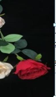 Rose rot 55cm Blüte ca. 8.5cm diam.